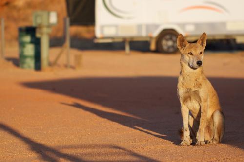 Dingo found as culprit to WA sheep decline