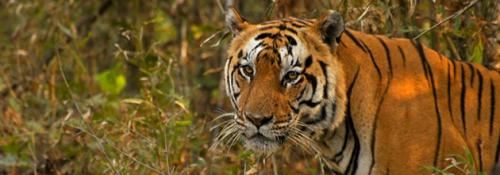 Diverse gene pool critical for tigers' survival
