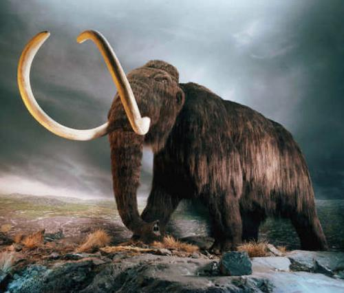 DNA reveals new clues: Why did mammoths die out?