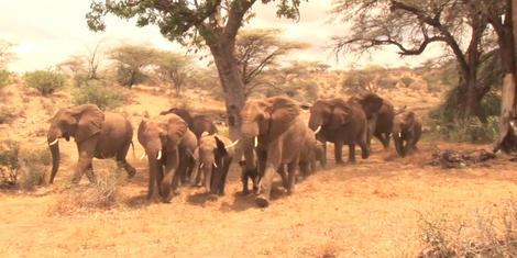 Do elephants call ''human!''?