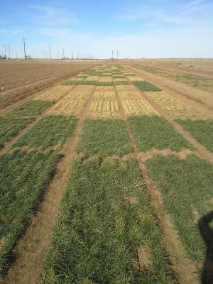 Drought, extreme temperatures may do damage to wheat in High Plains