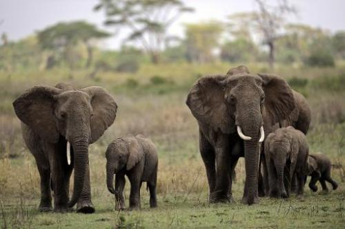 Elephants pictured walking with their calfs in the Serengeti national park in northern Tanzania, on October 25, 2010