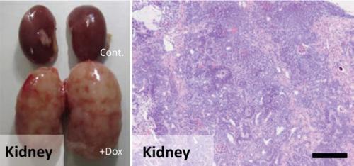 Elucidation of carcinogenic mechanism not involving gene mutation