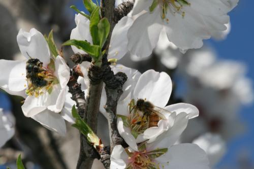 Experiment confirms that insects play a key role in the pollination of cultivated plants