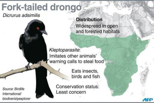 Fact file on fork-tailed drongos, known to imitate other animals' warning calls to steal food