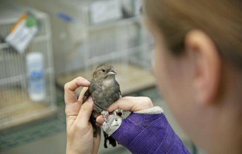 Female brown-headed cowbirds perform spatial tasks better than males