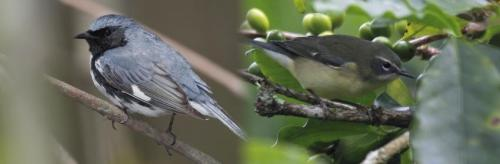 Female color perception affects evolution of male plumage in birds