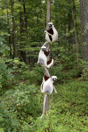 Lemur lovers sync their scents