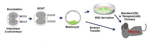 Embryonic stem cells: Reprogramming in early embryos