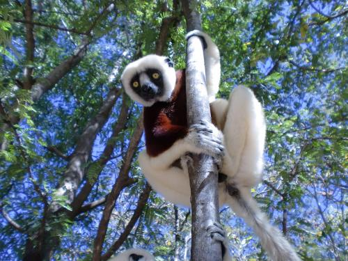 Finding how many Coquerel's sifaka exist
