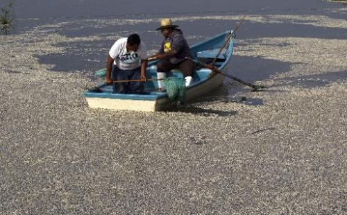 "Fishermen collect dead ""popocha"" fish at the Cajititlan lagoon in Tlajomulco de Zuniga, Jalisco State, Mexico, on  Sep"