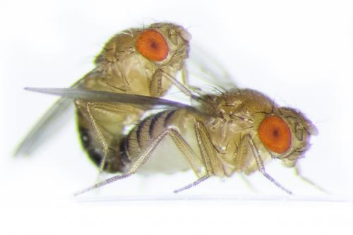 Flies with brothers make gentler lovers