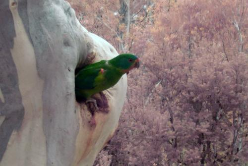 Forest loss linked to swift parrot mortality
