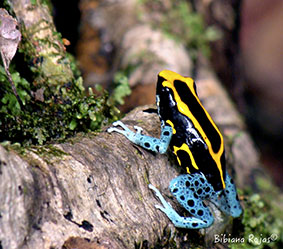 Frogs with vivid colour markings to ward off predators can also appear invisible