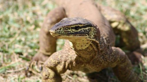 """Frozen zoo"" safeguards Kimberley reptile diversity"