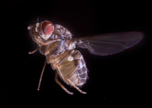 Fruit flies, fighter jets use similar nimble tactics when under attack