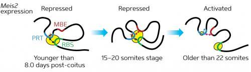 Genetic molecular mechanisms of neural development identified