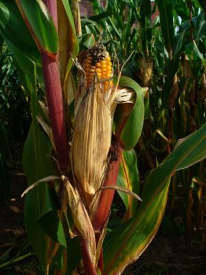 Going deep to improve maize transcriptome