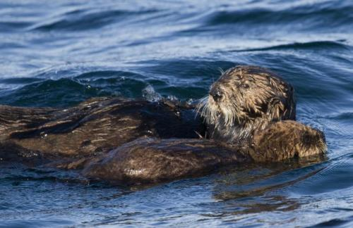 Energy demands of raising a pup push sea otter moms to the limit