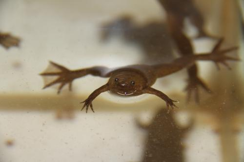 Head Formation of Clawed Frog Embryos