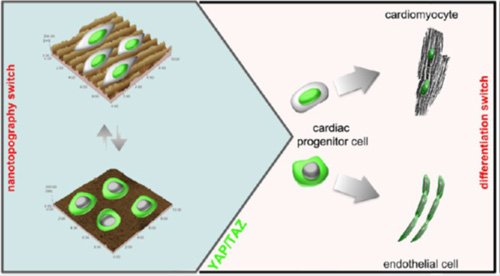 Heart cells respond to stiff environments