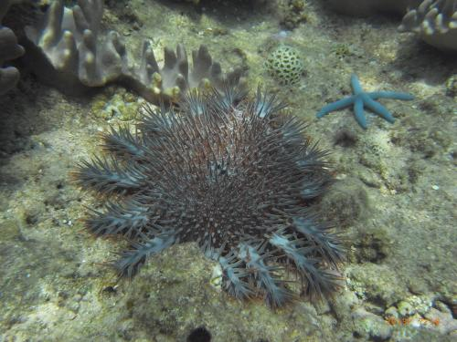 Helping local fishermen fight off the crown-of-thorns starfish