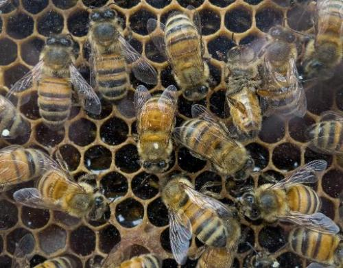 Honey bees work in their hive at a outdoor market August 15, 2013, in Washington