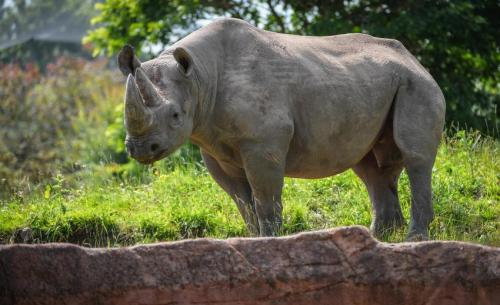 Hormone analysis helps identify horny rhinos