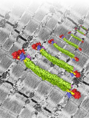 How do our muscles work? Scientists reveal important new insights into muscle protein