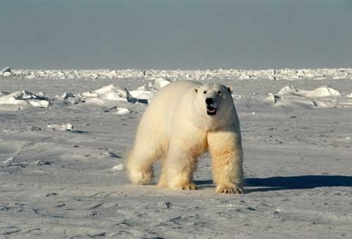 How do polar bears stay warm? Research finds an answer in their genes