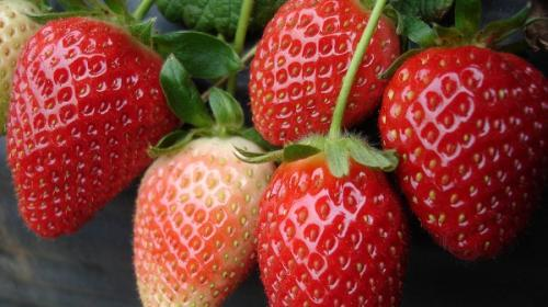 How do we combat strawberry crop pathogens?