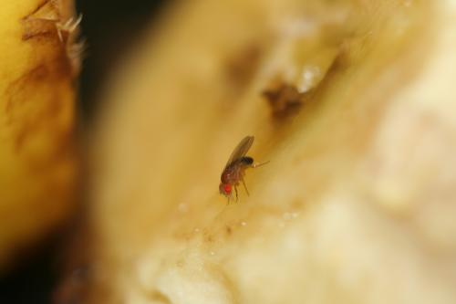 How fruit flies detect sweet foods
