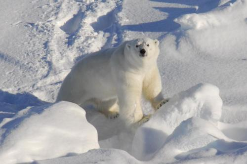 Humans may benefit from new insights into polar bear's adaptation to high-fat diet