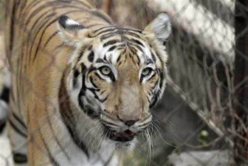 India scrambles to save tigers from deadly virus