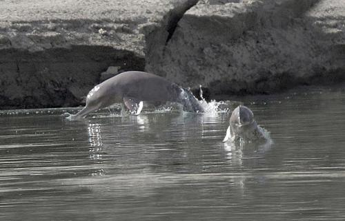 Indus river dolphin's declining range