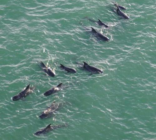 In this image released by the US Coast Guard, a pod of pilot whales swims off the coast of Everglades National Park in Florida o