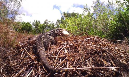 Invasive lizards a potential threat to Florida's nesting reptiles, UF/IFAS researchers find