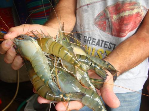 It's a girl! Gene silencing technology alters sex of prawns