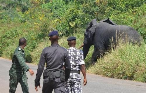 Ivory Coast soldiers look towards an elephant during a pursuit to capture him on January 21, 2014 in the village of Tapegue, com