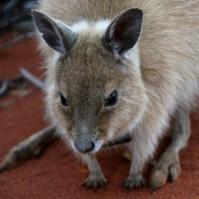 Kangaroo evolution maps climate change