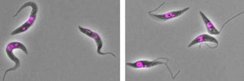 Key adjustment enables parasite shape-shifting
