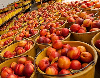 Ladderless peach and nectarine orchards explored