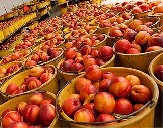 Ladderless peach and nectarine orchards explored