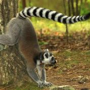 Lemurs match scent of a friend to sound of her voice