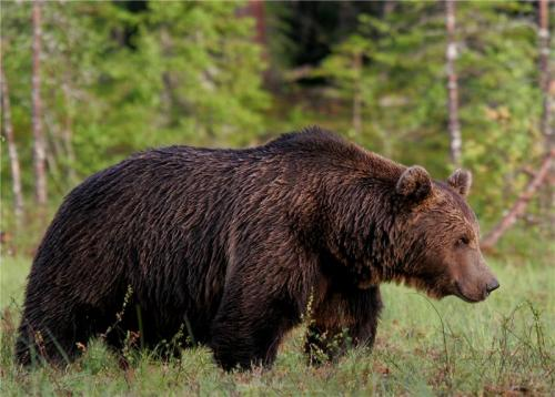 Limited connectivity among brown bear populations in Northern Europe