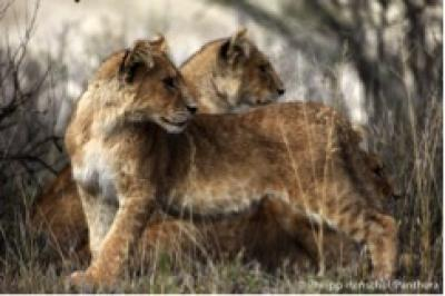 Lions are critically endangered in West Africa