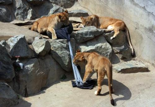 Lions play with a denim covered tyre at the Kamine Zoo in Hitachi city in Ibaraki prefecture, eastern Japan