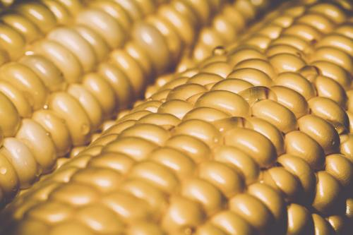 Maize population study finds genes affected by long-term artificial selection