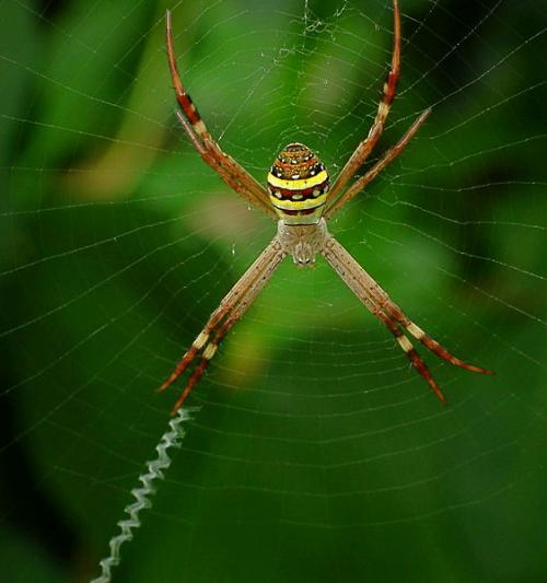 Male St. Andrew's Cross spiders sniff web pheromones to determine suitability of female mates