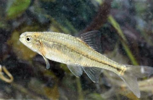 Minnow to be 1st fish taken off endangered list